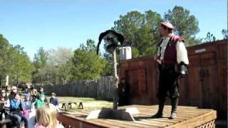 Black Vulture From Sky Kings Birds Of Prey Show @ 2012 Sherwood Forest Faire