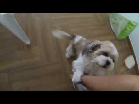 Happy Lhasa Apso Welcomes Owner From Work