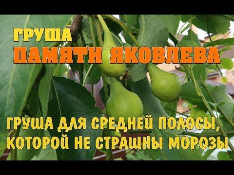 Груша, которая не боится морозов - груша Памяти Яковлева