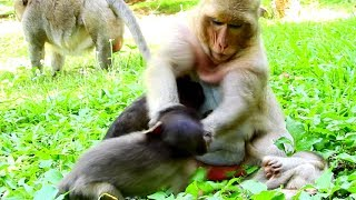 Fight three Baby Same Time, Dana angry Baby monkeys, fight Daniela, Polino, and Maddix!