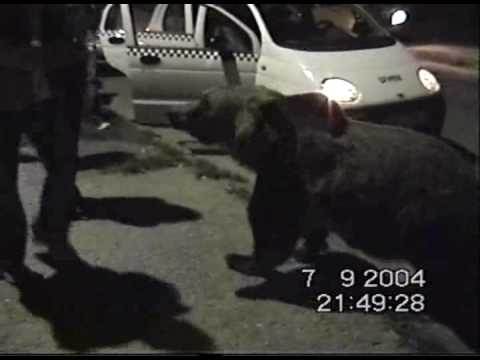 Wild Brown Bears-Ursii Din BRASOV Racadau.