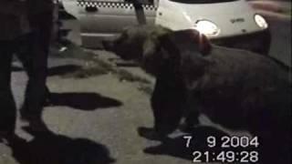 Wild Brown Bears-Ursii din BRASOV Racadau( WarlocK )