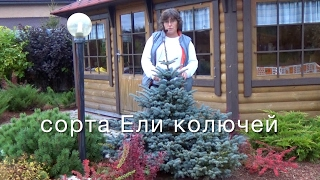 видео Ель белобока - фото и описание, особенности выращивания и ухода