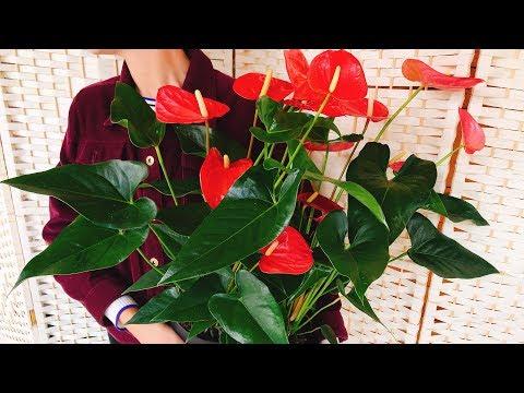 Мужское счастье цветок уход в домашних условиях фото