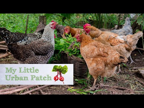 Six things to know before getting chickens