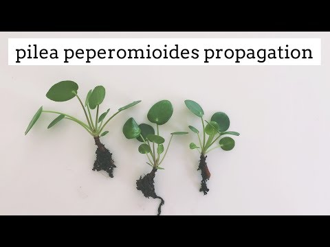 pilea peperomioides propagation | easy care house plant