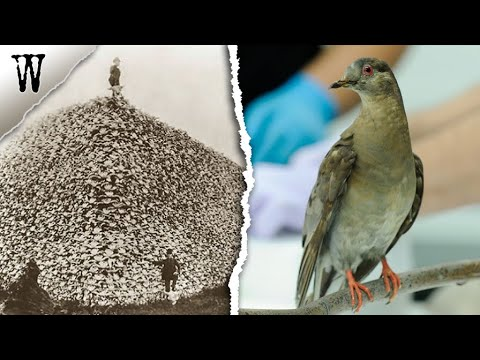 How The Passenger Pigeon Became Extinct within 50 Years - Extinct Animals & Plants