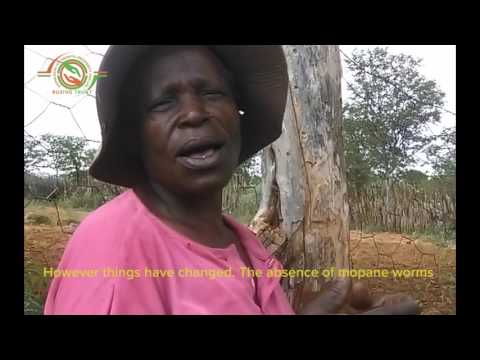 Mopane worm yields succumb to climate change