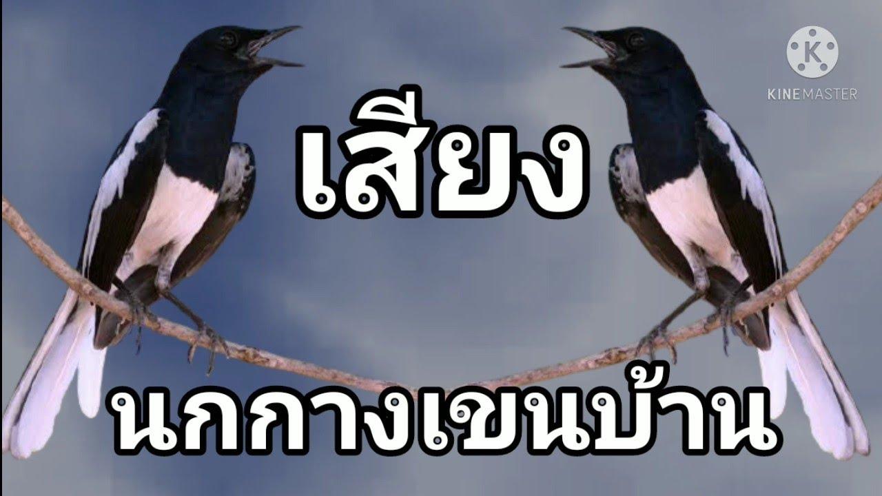 เสียงนกกางเขนบ้านหรือนกบินหลาขี้ควายใต้ l สำหรับต่อ