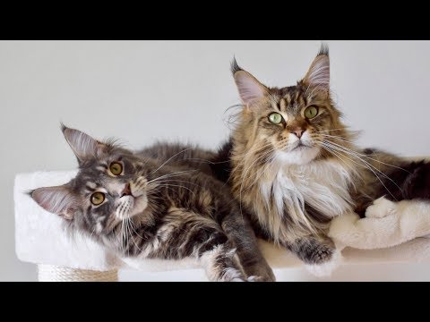 Q&A About Our Maine Coons (Part 2)