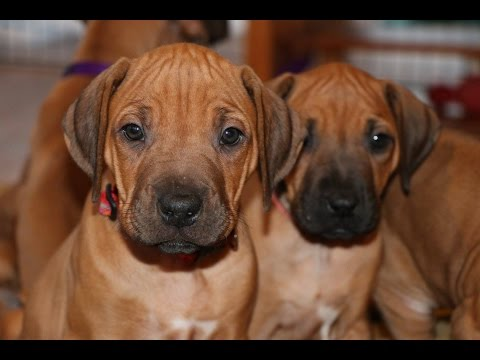 From Zero To Six Months With Rhodesian Ridgeback Puppy