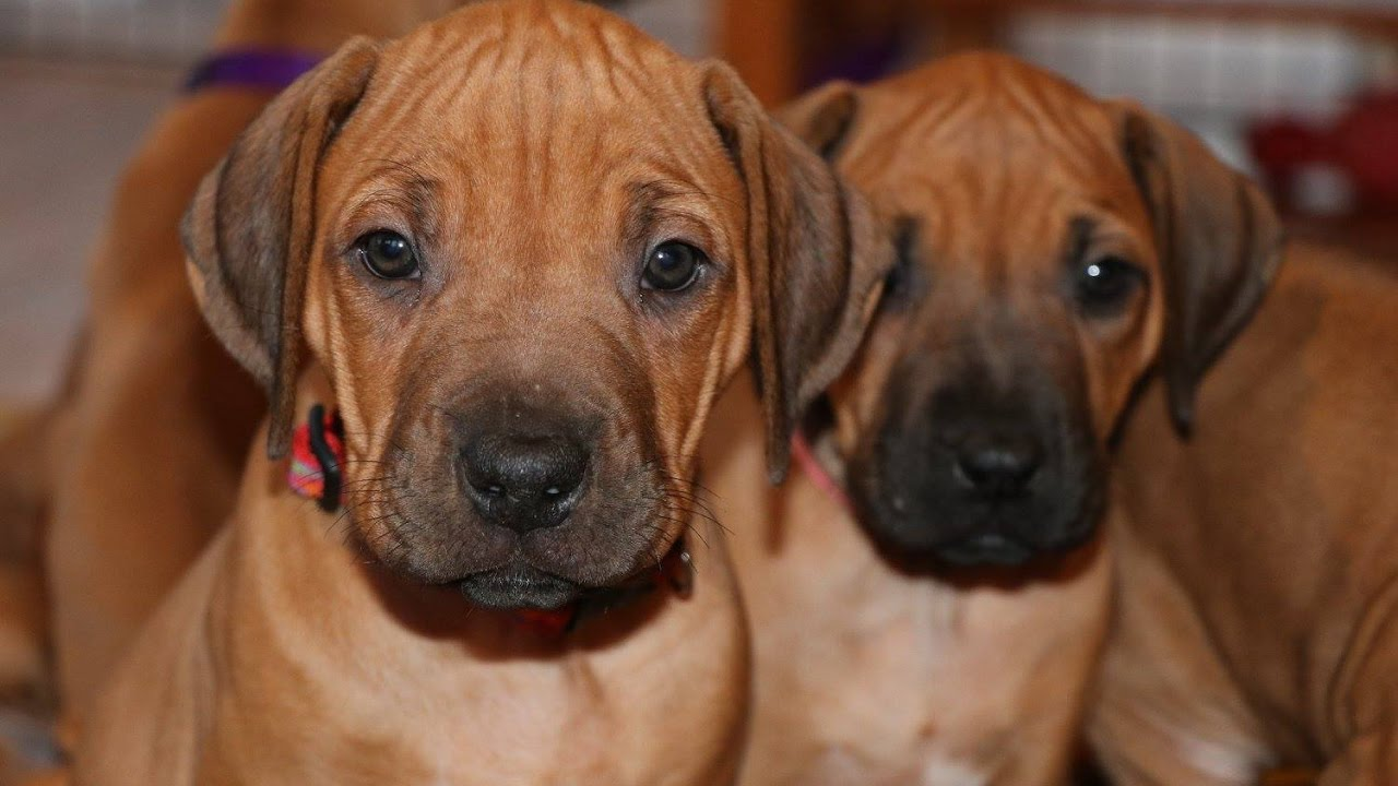 From zero to six months with rhodesian ridgeback puppy youtube from zero to six months with rhodesian ridgeback puppy nvjuhfo Gallery