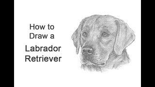 How to Draw a Labrador Retriever Dog (Head Detail)