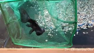 Болезни рыб - Ихтиофтириоз/ Fish disease -Ichthyophthirius