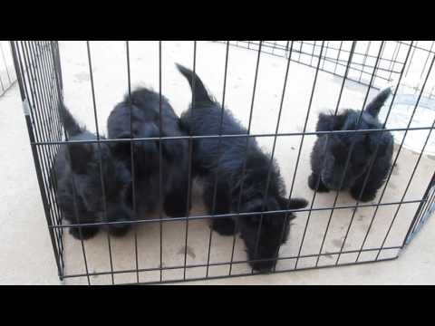 Scottish Terrier Puppies For Sale,Scottie,Dogs for sale,Scottish terrier breeders