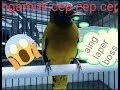 Sicantik Cucak Kurincang Dengan Suara Hass Nya Cep Cep Ngekek(.mp3 .mp4) Mp3 - Mp4 Download