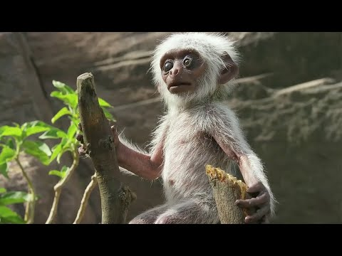 Spy Monkey Mistaken For Dead Baby And Mourned By Troop | BBC Earth