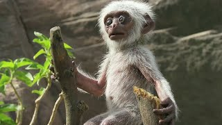 'Toy Spy Monkey' Mistaken For Dead Baby And Mourned By Troop | BBC Earth