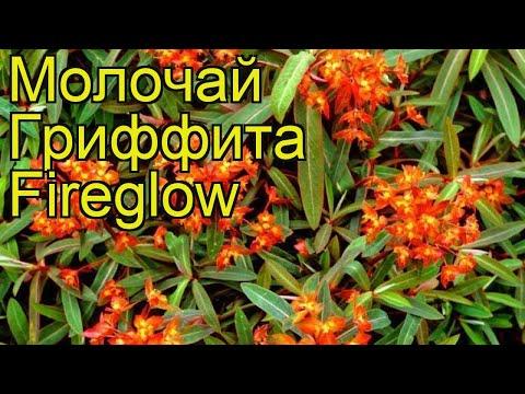 Молочай гриффита Файрглоу. Краткий обзор, описание характеристик euphorbia griffithii Fireglow