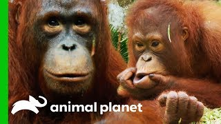 🔴Baby Orangutans, Play Fights, And Bonding Over Food Sacks | Orangutan Island