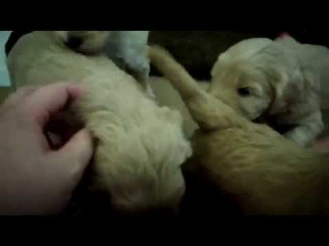 Goldendoodle puppy's. . .4 weeks old!
