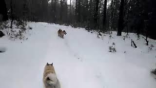 Собаки в лесу...
