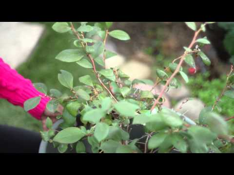 Freeze Protection for Bushes : Around the Garden