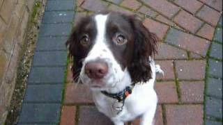 Sam, Our English Springer Spaniel Puppy!