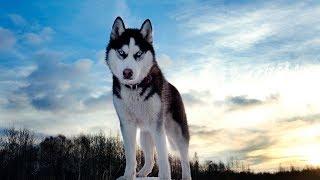 Хочу собаку. Хаски | Телеканал