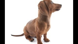 Dachshund Training Goes Hand In Hand With Dachshund Temperament