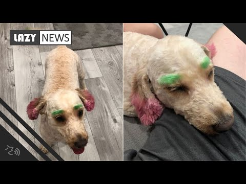 The Morning Rush - Groomer Returned Dog With Green Eyebrows & Pink Ears
