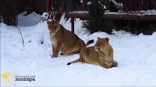 Львы зимой в Московском зоопарке