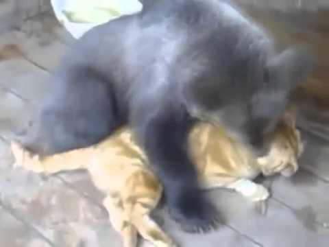 Кот против медведя
