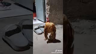 Tẩu hài động vật ' Anh em ớt vlog '