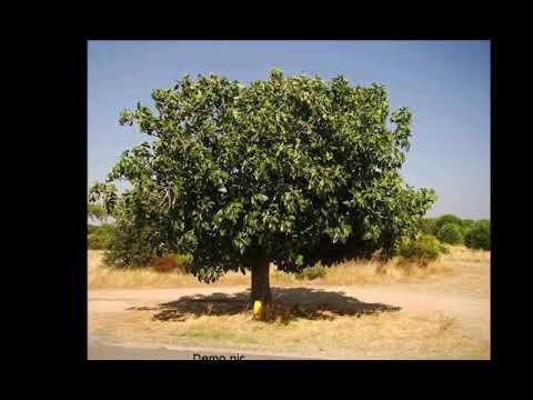 40 साल पहले मर चुके शख्स पेड़ की शक्ल में हुआ जिंदा
