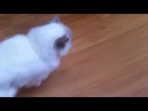 Cute ragdoll cat Olek eating mince