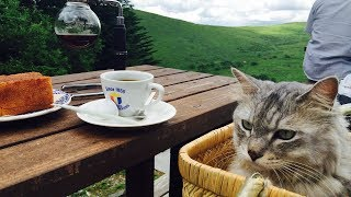 Cat HAL enjoys tea time at a mountain hut cafe! 猫のハル、山小屋カ...