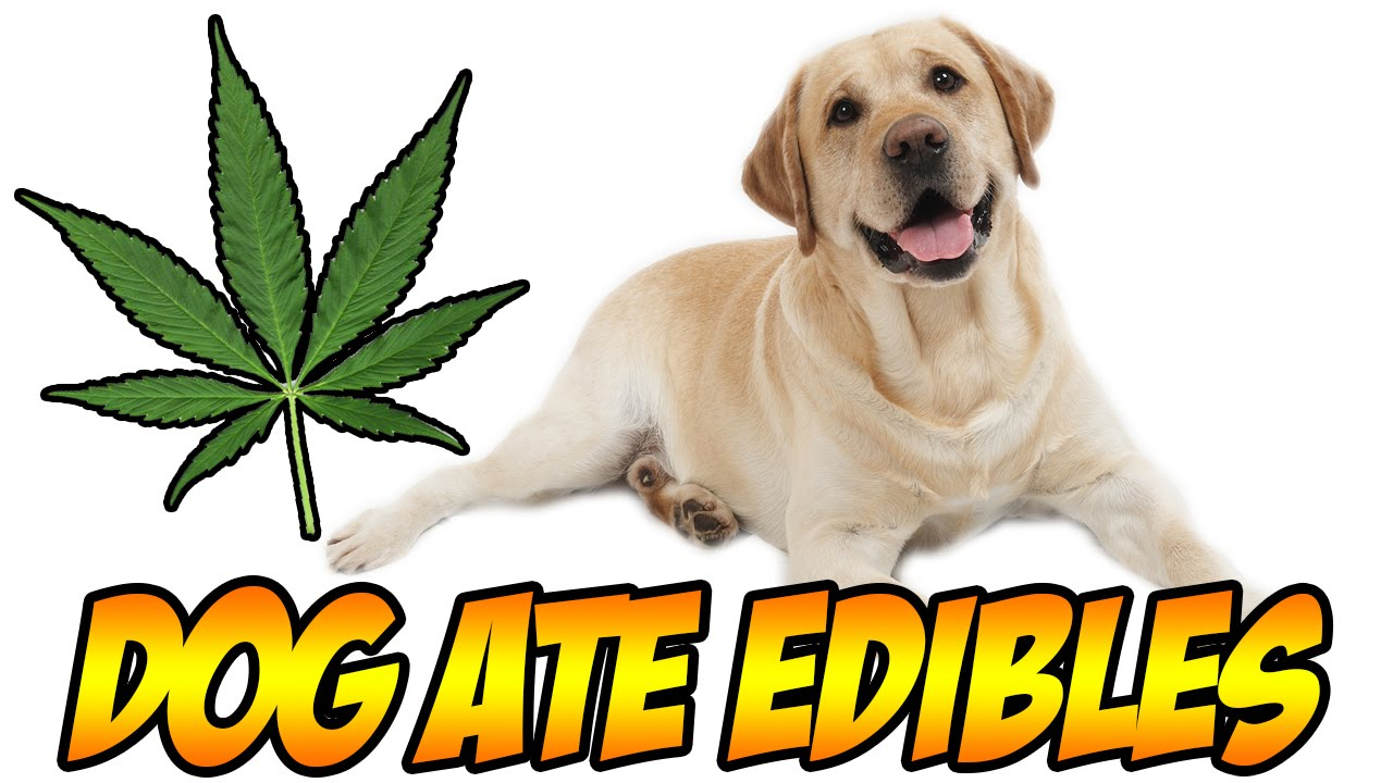 What Happens When A Dog Eats Weed