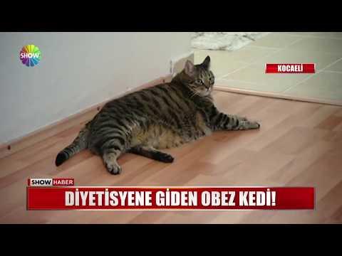 Diyetisyene giden obez kedi!