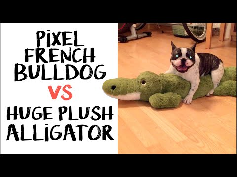 Pixel the French Bulldog wrestles an alligator