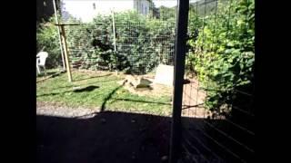 Savannah Cat TV - Serval goes swimming!