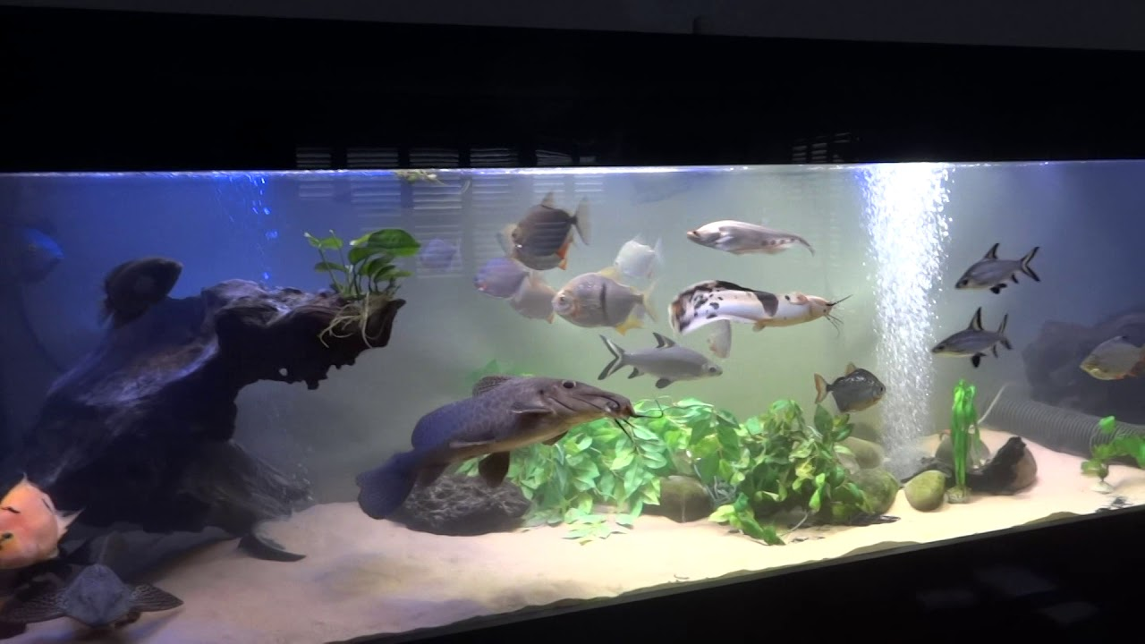 Monster Fish Tank Aquarium Giraffe Catfish Youtube