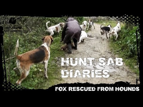 Hunt Sab Diaries - Episode 3 - Fox Rescued From Hounds