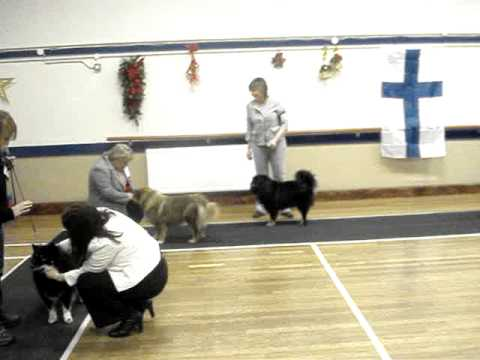 Lottie Jones of Cambridge at Southern Finnish Lapphund Society Breed Open Show 24-11-12.
