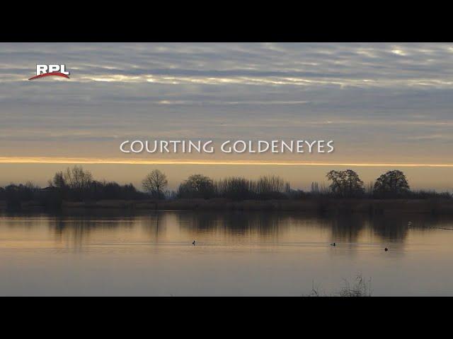 Natuur in de omgeving: Courting goldeneyes
