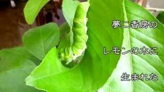 2013年7月 夢二香房の檸檬の木に毎日のように卵を産みつけに来ていた揚羽蝶 その度に卵を潰されていましたが...遂に!1匹の幼虫が誕生!! 観てると結構可愛い ...