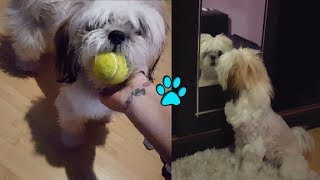 Puppy Identity Crisis | Catcher | Siblings Meet | Belly Rub Analysis - SHIHTZU