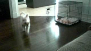 Westie Poo Agility Training
