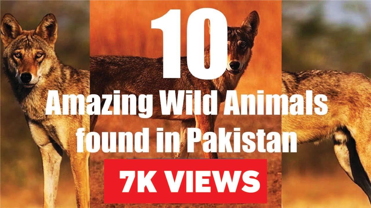 10 Amazing Wild Animals found in Pakistan | 2018