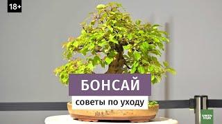 бонсай. Уход в домашних условиях // Агротехника выращивания 16